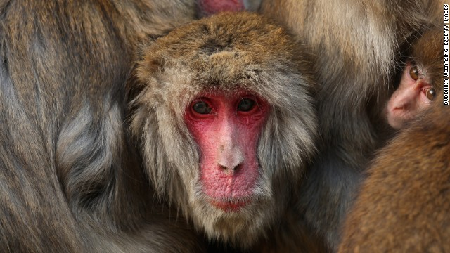 The Iwatayama Monkey Park is home to over 100 Japanese macaques.