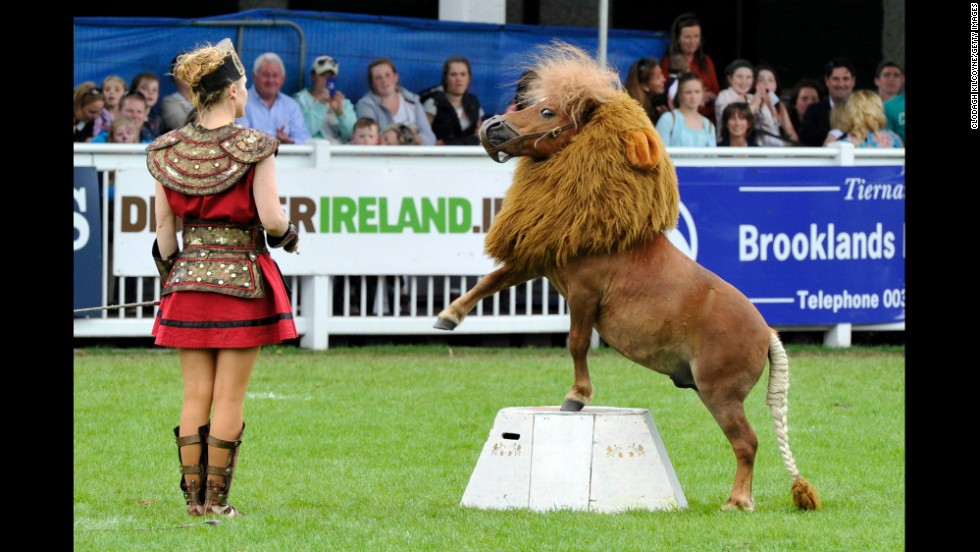 Luma, a Shetland pony dressed as a lion, performs during the Dublin Horse Show in Dublin, Ireland, on Saturday, August 9.