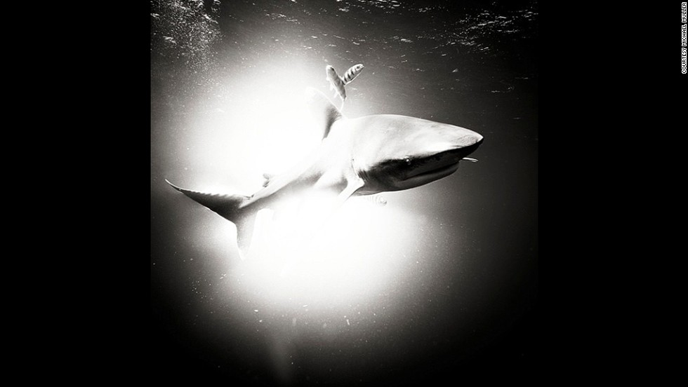 """It's all about light. Whether In the studio or 40ft below the surface, it all boils down to light. Can't tell you how fulfilling it is to light these babies up. Now just need to put the spotlight on shark finning and ending it or at least regulating it."""