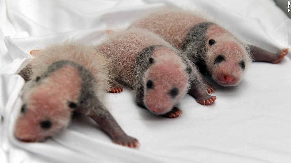 Triplet panda cubs rest in an incubator at the Chimelong Safari Park on August 12, 2014. The cubs, which weighed 83 grams, 90 grams, and 122 grams, respectively, at birth, are thought to be the only living panda triplets in the world.