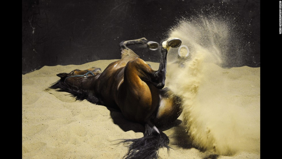 Spillway enjoys a roll in the sand after a training session Thursday, August 14, at Flemington Racecourse in Melbourne.