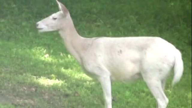 dnt white deer rare connecticut_00004712.jpg