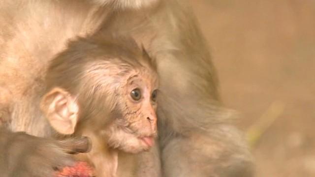 cnni udas pkg new delhi monkey chasers_00003810.jpg