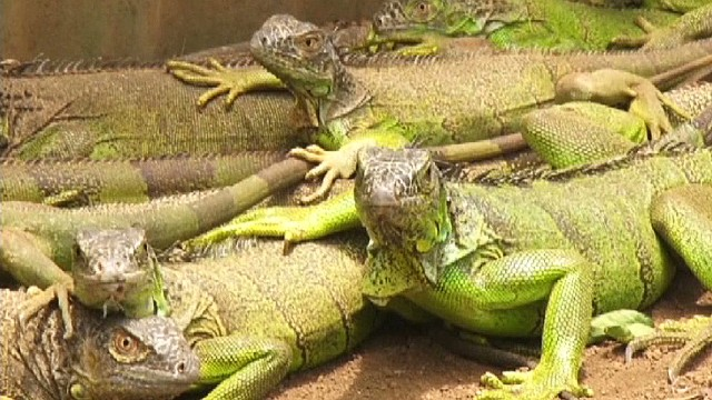 cnnee samantha lugo pkg iguanas _00010502.jpg