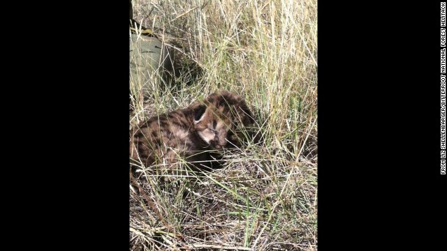 It's unclear whether the baby cats can eventually return to the wild. Officials will decide that later.
