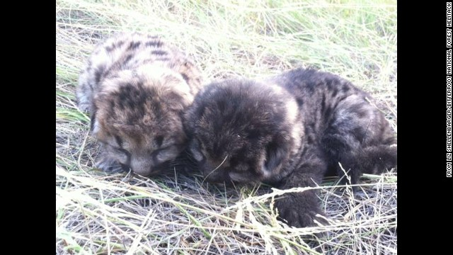 The cubs are between 1 and 2 weeks old. They're both males and are  at a wildlife rehabilitation center in Helena.