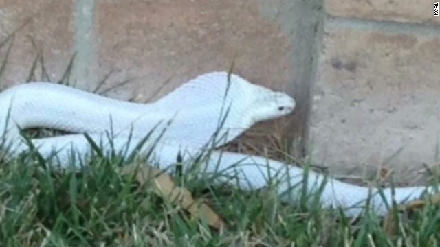 Loose cobra captured in California