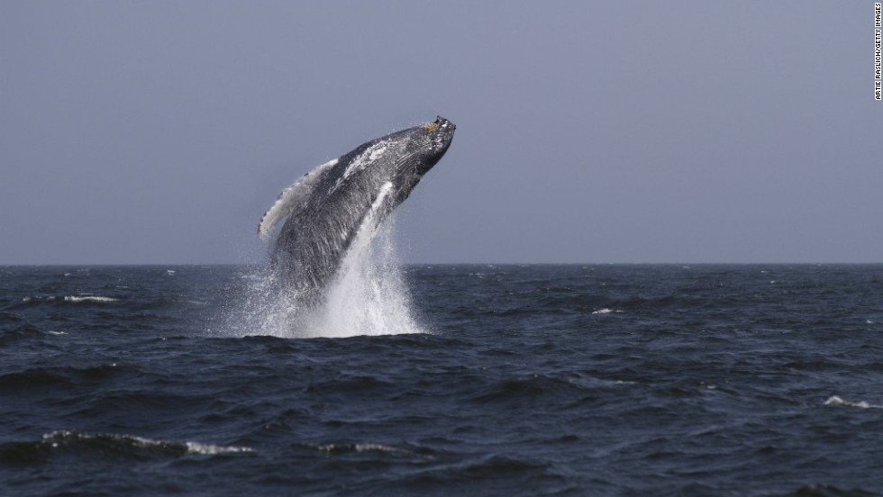 A humpback whale breaches the water 3 miles off New York City's Rockaway Beach on Sunday, August 31.