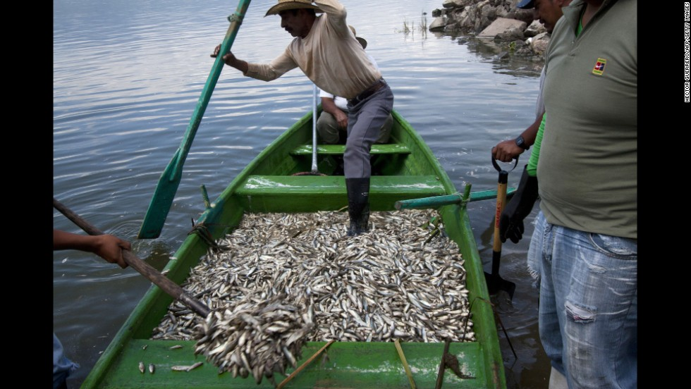 Fisherman collect dead fish Monday, September 1, at the Cajititlan lagoon in Tlajomulco de Zuniga, Mexico. At least 48 tons of fish have turned up dead at the lagoon, and authorities are investigating the cause.