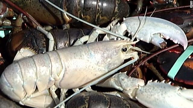 pkg two albino lobsters caught_00004415.jpg
