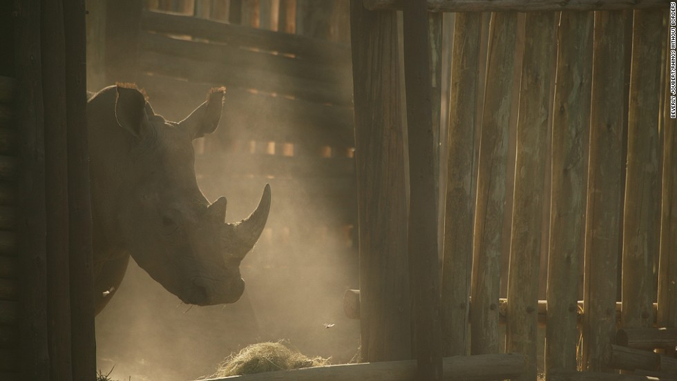 There are only 5,000 black rhinos left on the continent (a 96% reduction since 1970). The white rhino story is a happier tale. Rescued from the brink of extinction, the species now numbers 20,000 -- though conservationists worry they too are in danger, as rhino horn continues to sell for a hefty sum on the black market.