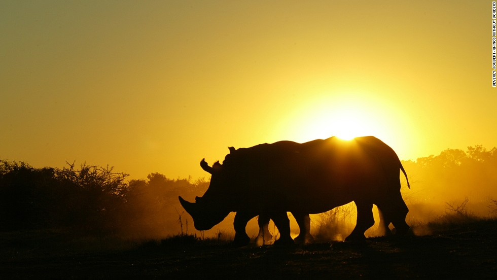 South Africa has the highest concentration of black and white rhinos in Africa. They also have the highest rate of poaching.