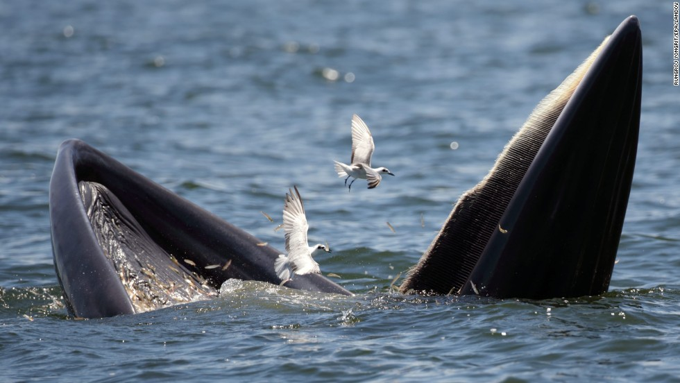A Bryde's whale and seagulls feast on anchovies together in the Gulf of Thailand on Tuesday, September 9.