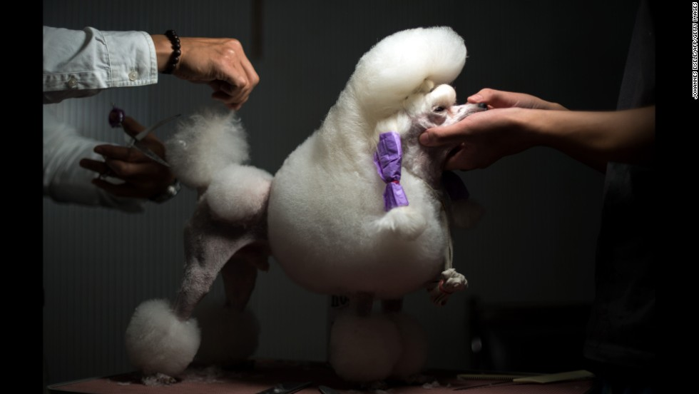 Min Woo Seol grooms the tail of his mini poodle before they compete at a dog show in Hangzhou, China, on Sunday, September 7.