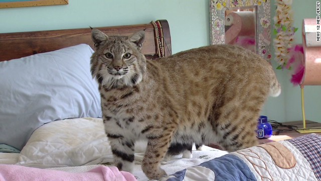 dnt woman renovates home to keep pet bobcat_00004802.jpg