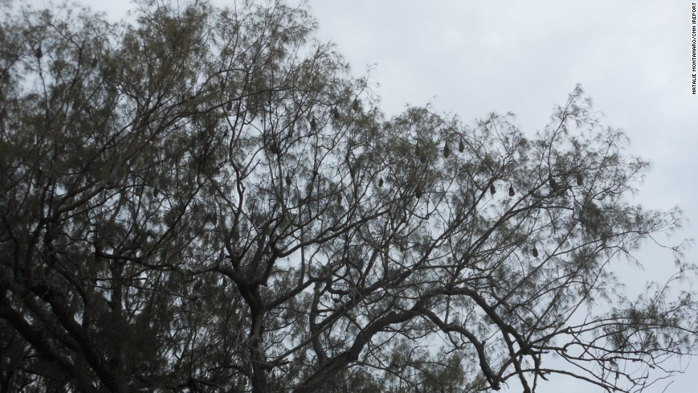 "Those aren't leaves overhead. Sleeping bats hang listlessly from a tree in <a href=""http://ireport.cnn.com/docs/DOC-827088"">Tongatapu, Tonga</a>."