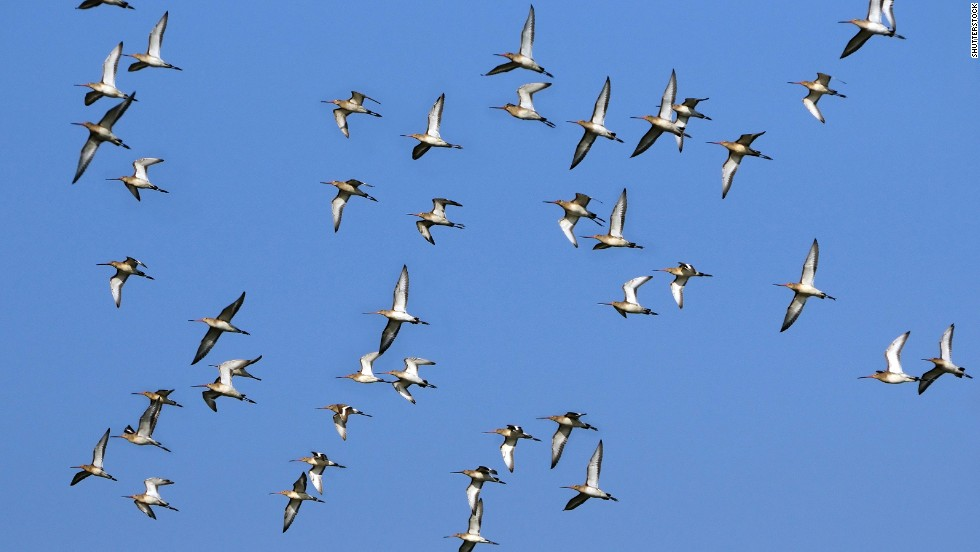It's not your imagination: Some animals -- mostly birds -- are migrating earlier and earlier every year because of warming global temperatures. Scholars from the University of East Anglia found that Icelandic black-tailed godwits have advanced their migration by two weeks over the past two decades. Researchers also have found that many species are migrating to higher elevations as temperatures climb.