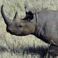 WWF Black rhino