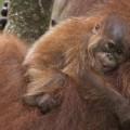 WWF orangutan