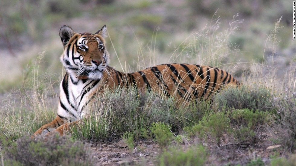 "The South China tiger is considered ""functionally extinct,"" as it has not been sighted in the wild for more than 25 years."