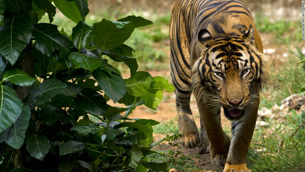 Sumatran tigers are the smallest surviving tiger species and are protected by law in Indonesia. But despite increased efforts in tiger conservation, they remain critically endangered.