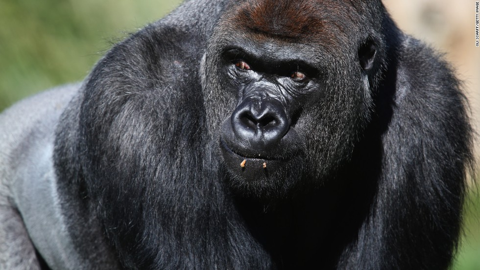 Western lowland gorillas are critically endangered species. Because of poaching and disease, their numbers have declined by more than 60% over the last 20 to 25 years, according to the WWF's report.