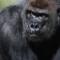 WWF gorilla lowland