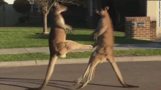 erin pkg moos kangaroo fight_00005610.jpg