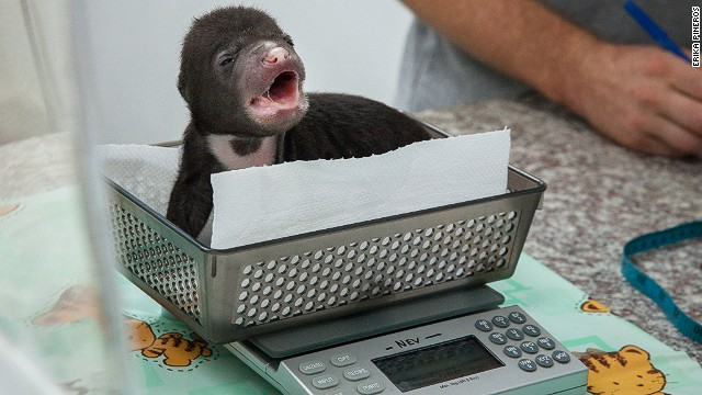 Sun bear cub 'Jammy'' is weighed at the Bear Quarantine Center at the Phnom Tamao Wildlife Rescue Center.
