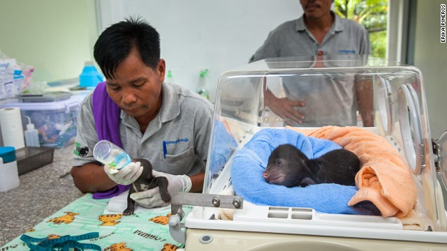 "Cambodian keeper Kem Sun Heng feeds sun bear cubs ""Jammy"" and ""Donut."""