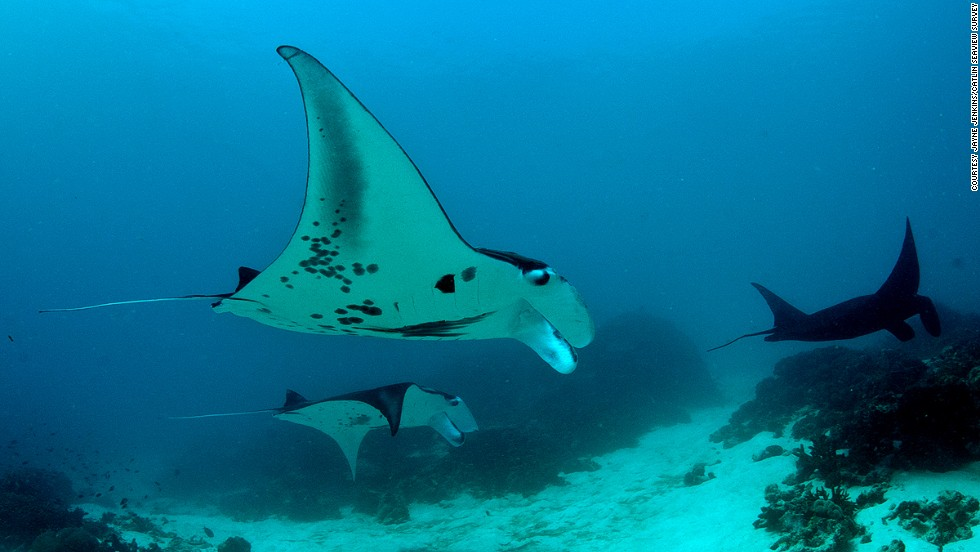 The Coral Triangle was declared a sanctuary for manta rays in 2013.