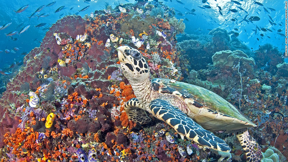 Six of the world's seven species of marine turtles can be found in the Coral Triangle, including the hawksbill sea turtle.