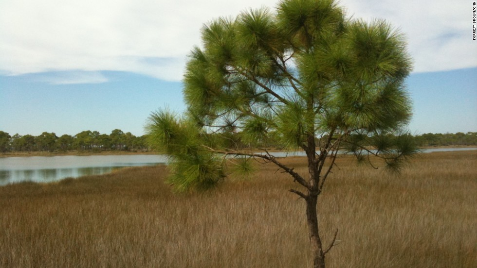 A lone pine stands guard over the marsh, a vital part of the maritime ecosystem here.