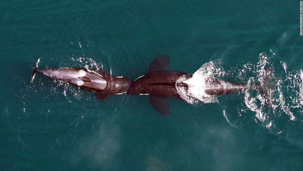 In an exhibit of playful behavior, two killer whales nuzzle head-to-head.