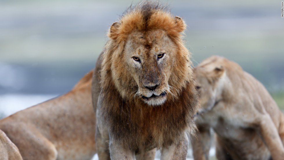 Lions are fearsome crowd-pleasers for safari goers. The world's lion population is dwindling, and the relationship between the big cats and the humans making their livelihoods on the plains is tense.
