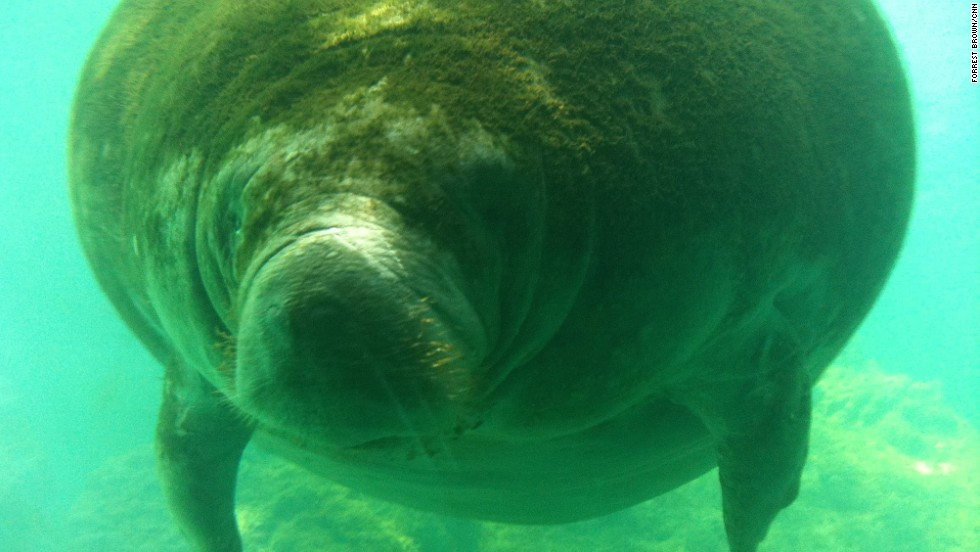Jackpot! This is what it's all about at Homosassa Springs Wildlife State Park: a manatee spotting. These curious and endangered aquatic giants will sometimes swim right up to an underwater observation building at the state park.