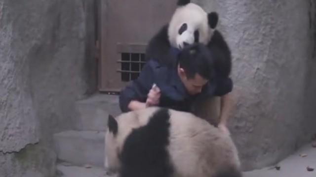 cnnee vo panda wrestle to avoid medicine_00000601.jpg