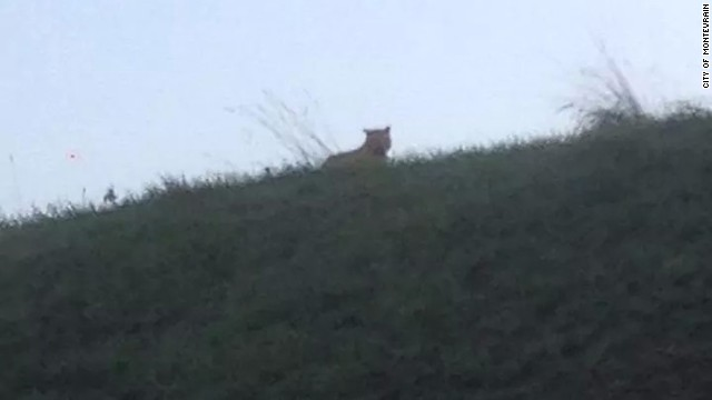 Residents were urged to stay inside Thursday, Nov. 13, 2014, after a tiger was spotted prowling in woods not far from Disneyland Paris, a local official said. The tiger was in a wooded area around Chessy and Montévrain, according to Cédric Tartaud-Gineste, mayoral cabinet director in Montévrain.