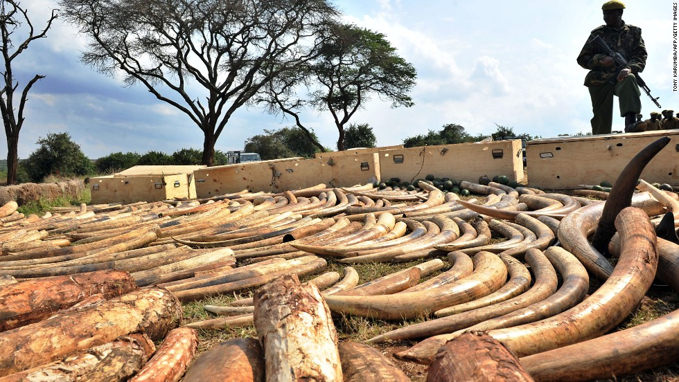 """The Ivory Game"" traces the bloody paper trail of of illegal ivory as it moves between Africa and Asia. Pictured: Kenya Wildlife Services ranger guards an ivory haul in August 2010."