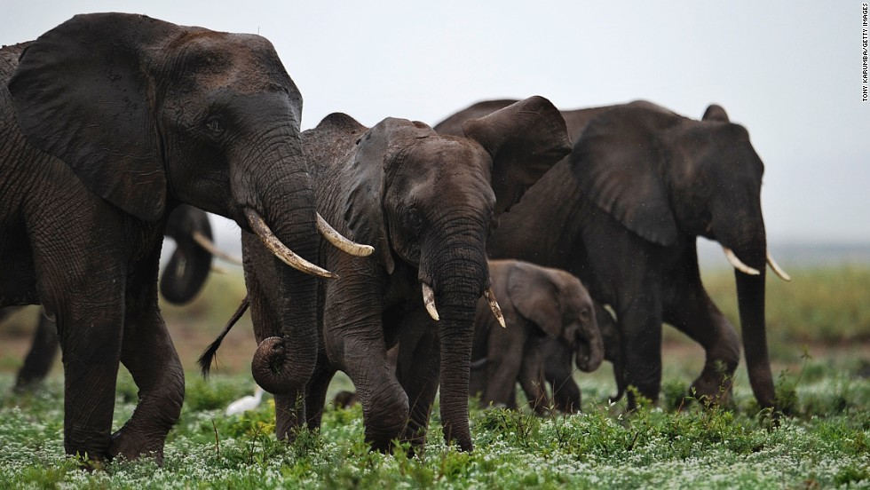 "Ivory traders actually want elephants to go extinct, as this would hike up the price and demand for ""white gold"", explains Craig Millar of the Big Life Foundation.<br />Pictured: elephants at the Amboseli game reserve, Kenya in December 2012."