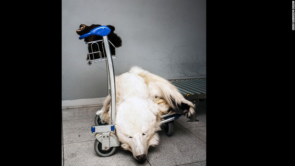 A polar bear skin lies on a cart at the airport. For Lach, the illegal wildlife trade symbolizes the devastation that can result from human thoughtlessness.