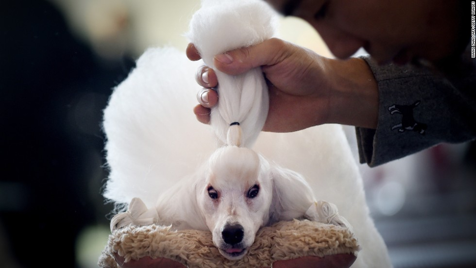 A man grooms his miniature poodle in Beijing after competing at the China International Pet Show on Monday, November 17.
