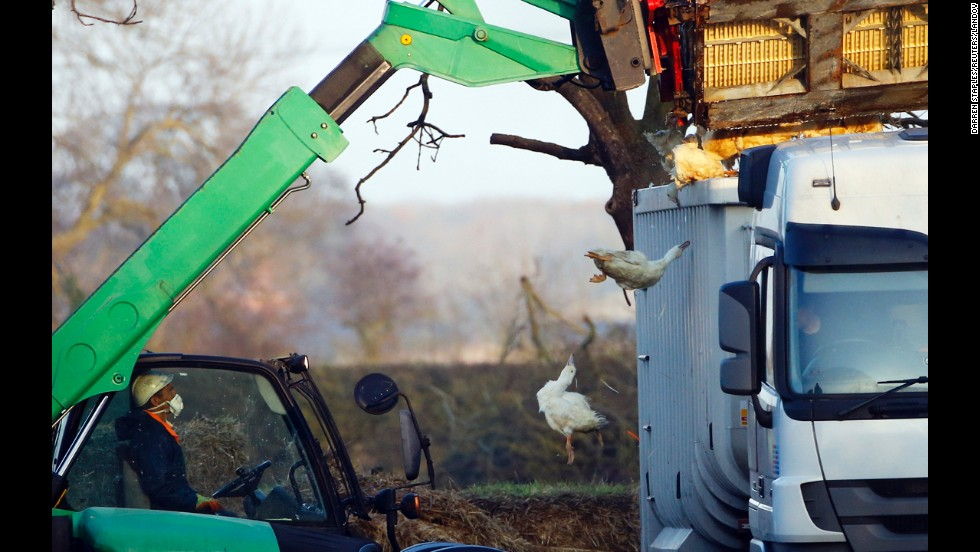 Officials move crates of ducks after bird flu was found on a duck farm in Nafferton, England, on Monday, November 17. The flu was found days after it was discovered in Dutch chickens, although it was not a strain known to be deadly to humans.
