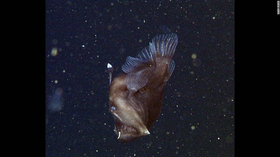 "This particular female anglerfish is known as the ""Black Seadevil."" Fans of the 2003 Pixar film ""Finding Nemo"" might recognize it."