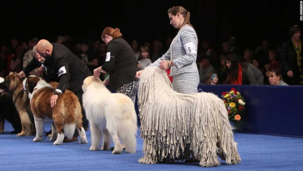 Dogs in the working group waited for the announcement of the top dog in their category. A Samoyed named Bogey won.
