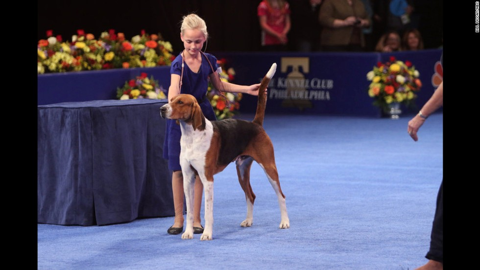 "A young handler showed an American foxhound, the breed that won the <a href=""http://www.cnn.com/2013/11/28/living/gallery/national-dog-show/"">2013 National Dog Show</a>."