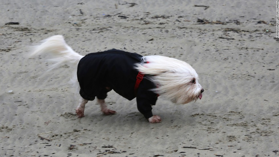 <strong>February 14: </strong>A Coton de Tulear dog is hit by strong winds on the beach in Lyme Regis, England.