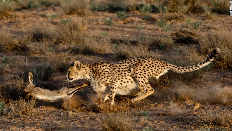 <strong>May 26:</strong> An Asiatic cheetah hunts a rabbit at the Miandasht Wildlife Refuge in Jajarm, Iran. Iran is conducting a campaign to save the Asiatic cheetah, a species that is dwindling in the region.