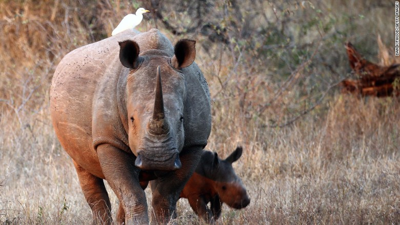Rhinos in South Africa's Kruger National Park