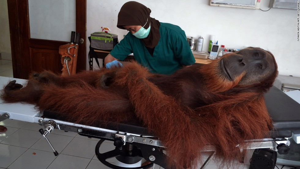 <strong>April 16:</strong> A veterinary staff member of the Sumatran Orangutan Conservation Program examines a 14-year-old male orangutan on Indonesia's Sumatra island. The orangutan was rescued a day earlier with air gun pellets embedded in his body. His species is considered critically endangered because of poaching and rapid destruction to its forest habitats.